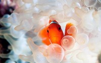 fish,clownfish fish clownfish 1920x1200 wallpaper – Fish Wallpaper – Free Desktop Wallpaper