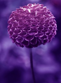 purplicious / purple pompom dahlia