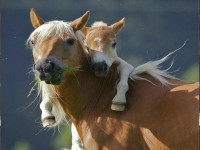 family,animals family animals horses 1600x1200 wallpaper – Horses Wallpapers – Free Desktop Wallpapers