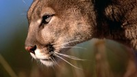 animals,mountain lions animals mountain lions 1920x1080 wallpaper – animals,mountain lions animals mountain lions 1920x1080 wallpaper – Lion Wallpaper – Desktop Wallpaper
