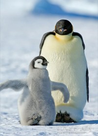 Animals / penguin