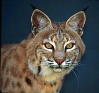 Bobcat_2-face_closeup.jpg 600×563 pixels