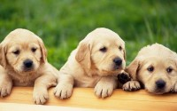 dogs,animals animals dogs puppies pets labrador retriever labradors 1920x1200 wallpaper – Dogs Wallpapers – Free Desktop Wallpapers