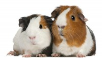 Sweety Guinea Pigs Gallery Guinea-Pig03 –