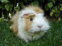Sweety Guinea Pigs Gallery Guinea-Pig20 –