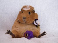 Sweety Guinea Pigs Gallery Guinea-Pig10 –