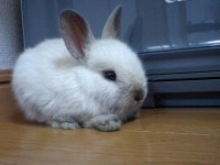 So Sweet Dwarf Rabbit Pics Dwarf-Rabbit02 –