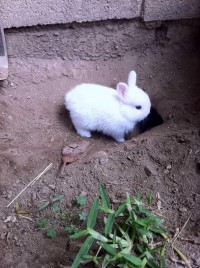 So Sweet Dwarf Rabbit Pics Dwarf-Rabbit04 –