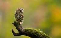 animals,birds birds animals owls moss 1440x900 wallpaper – animals,birds birds animals owls moss 1440x900 wallpaper – Birds Wallpaper – Desktop Wallpaper