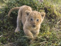 lions,cubs cubs lions baby animals 1600x1200 wallpaper – lions,cubs cubs lions baby animals 1600x1200 wallpaper – Lion Wallpaper – Desktop Wallpaper