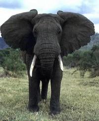 Google Afbeeldingen resultaat voor http://www.wereldburgers.tv/wp-content/uploads/2009/10/Afrikaanse-olifant.jpeg
