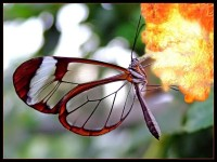 animals,outdoors animals outdoors butterflies glasswing butterfly 1600x1200 wallpaper – animals,outdoors animals outdoors butterflies glasswing butterfly 1600x1200 wallpaper – Butterflies Wallpaper – Desktop Wallpaper