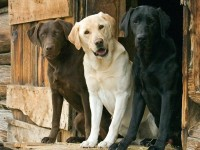 dogs,Labrador Retriever dogs labrador retriever 1600x1200 wallpaper – Dogs Wallpapers – Free Desktop Wallpapers