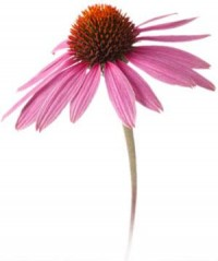 What Are the Benefits of Echinacea?