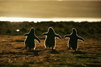 "500px / Photo ""Gentoo Penguins"" by Andreas Butz"