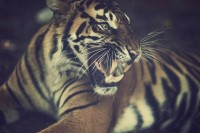 animals,tigers animals tigers feline teeth warm 1800x1200 wallpaper – animals,tigers animals tigers feline teeth warm 1800x1200 wallpaper – Tiger Wallpaper – Desktop Wallpaper