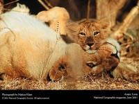 wildlife,National Geographic wildlife national geographic lions baby animals 1600x1200 wallpaper – wildlife Wallpapers – Free Desktop Wallpapers