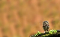 owls,alone alone owls owlet baby birds 1680x1050 wallpaper – owls,alone alone owls owlet baby birds 1680x1050 wallpaper – Birds Wallpaper – Desktop Wallpaper