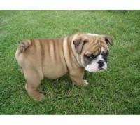 Google Image Result for http://animalku.com/wp-content/uploads/2011/08/english-bulldog1.jpg