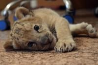 Foto Incrocio tra felini, nasce il primo esemplare di ''liliger'' - 1 di 8 - Repubblica.it