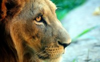 close-up,lions closeup lions 2560x1600 wallpaper – close-up,lions closeup lions 2560x1600 wallpaper – Lion Wallpaper – Desktop Wallpaper