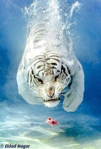 The white tiger diving for meat. - Imgur