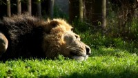 Sun,relax sun relax animals grass bamboo pride sleeping male lions 1920x1080 wallpaper – Sun,relax sun relax animals grass bamboo pride sleeping male lions 1920x1080 wallpaper – Grass Wallpaper – Desktop Wallpaper