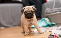 animals,dogs animals dogs pugs puppies 2560x1600 wallpaper – animals,dogs animals dogs pugs puppies 2560x1600 wallpaper – Dogs Wallpaper – Desktop Wallpaper
