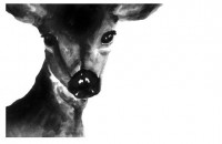 Deer Portrait Black and White 85 x 11 inch by MyLittleWaterBird