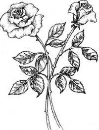 Google Image Result for http://free.bridal-shower-themes.com/img/black-and-white-rose-drawing_1.jpg
