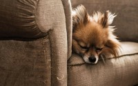 couch,animals couch animals dogs sleeping chihuahua 2560x1600 wallpaper – couch,animals couch animals dogs sleeping chihuahua 2560x1600 wallpaper – Dogs Wallpaper – Desktop Wallpaper