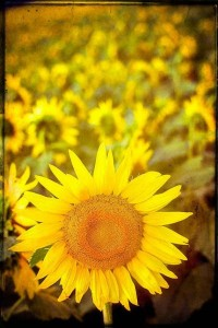 Sunflower photo happy sunny yellow field of by CarlChristensen