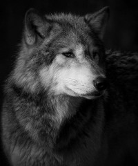 Wolf | Flickr - Photo Sharing!