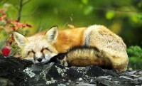 nature,green green nature baby animals sleeping mammals baby animals foxes 1920x1160 wallpaper – Green Wallpapers – Free Desktop Wallpapers
