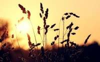 Sun,wheat sun wheat macro 1920x1200 wallpaper – Sun,wheat sun wheat macro 1920x1200 wallpaper – Sun Wallpaper – Desktop Wallpaper