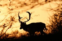Deer at Dusk by *thrumyeye