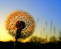 flowers,dandelions flowers dandelions 1920x1536 wallpaper – flowers,dandelions flowers dandelions 1920x1536 wallpaper – Flowers Wallpaper – Desktop Wallpaper