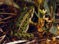 Northern Leopard Frogs, Northern Leopard Frog Pictures, Northern Leopard Frog Facts - National Geographic