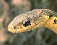 Garter Snake Head