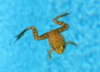 frog-swimming.jpg 920×661 pixels