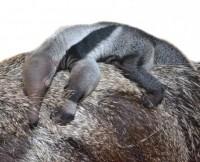 Foto Il sonno del piccolo formichiere - 1 di 3 - Repubblica.it