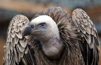 All sizes | RUPPELL'S GRIFFON VULTURE | Flickr - Photo Sharing!