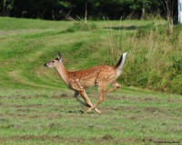 Nikonians Photo Galleries - Whitetail Deer Running