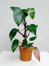 Philodendron erubescens – Red Emerald | Flickr - Fotosharing!