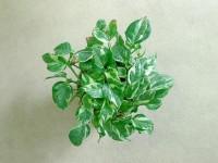 Epipremnum pinnatum - N'joy | Flickr - Fotosharing!