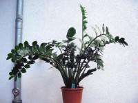 Zamioculcas zamifolia | Flickr - Fotosharing!