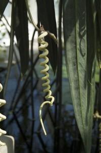 Anthurium wendlingeri | Flickr - Fotosharing!