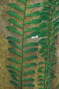 Pothos scandens | Flickr - Fotosharing!