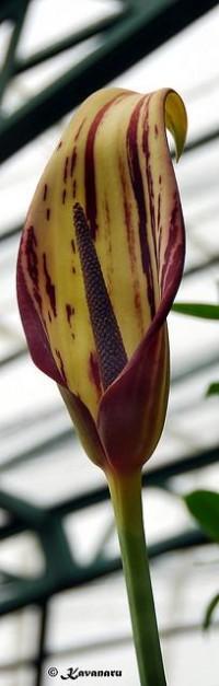 Urospatha grandis | Flickr - Fotosharing!