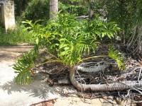 Philodendron bipinnatifidum | Flickr - Fotosharing!